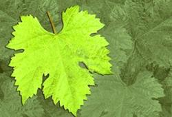 Click to view album: FROZEN VINE LEAVES